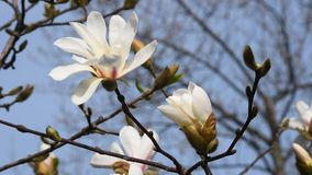 White magnolia flower and bud close up. White magnolia flower and new bud tremble in the wind over background of blue sky, tree branches and twigs, flowers and stock footage