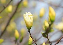 White Magnolia flower buds. Close up shot of white Magnolia flower buds Stock Photography