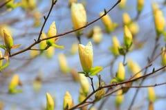 White Magnolia flower buds. Close up shot of white Magnolia flower buds Royalty Free Stock Photo