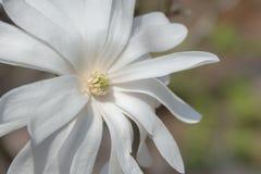 White Magnolia flower Stock Photos