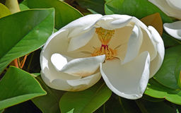 White Magnolia flower in early bloom. Stock Images