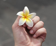 White magnolia flower in a female hand Royalty Free Stock Images
