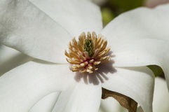 White magnolia flower Stock Photography