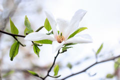 White magnolia flower with green leaves. On a white background Royalty Free Stock Photography