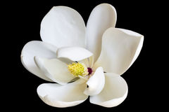 White Magnolia Flower Isolated on Black. Dwarf variety of evergreen magnolia grandiflora royalty free stock photography