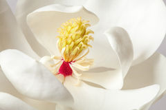 White Magnolia Flower Magnolias Floral Tree Royalty Free Stock Photos