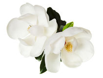 White Magnolia Flower Magnolias Floral Tree Royalty Free Stock Photo