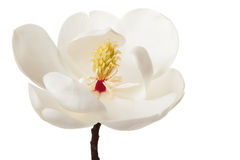 White Magnolia Flower  Magnolias Floral Tree Royalty Free Stock Photography