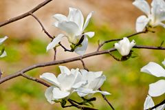 White magnolia flower in bloom Stock Images