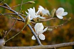 White magnolia flower in bloom Royalty Free Stock Photo