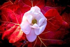 White Magnolia Flower Red Sea grape leaf Royalty Free Stock Photo