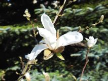 White magnolia flower in spring, Lithuania Royalty Free Stock Photo