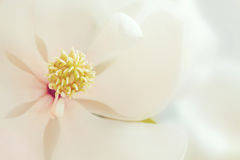 White Magnolia Flower Tropical Floral Flowers Stock Photo