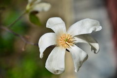 White magnolia flower under the sun. Royalty Free Stock Images