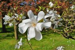 White magnolia - flowering tree Stock Photos