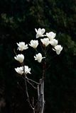 White magnolia flowers Royalty Free Stock Photos
