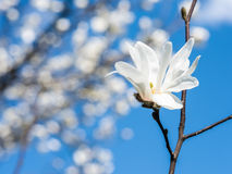 White Magnolia Flowers Against Blue Sky Royalty Free Stock Photography