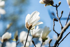 White Magnolia Flowers Against Blue Sky Royalty Free Stock Photos