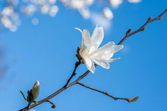 White Magnolia Flowers Against Blue Sky Stock Photo