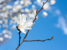 White Magnolia Flowers Against Blue Sky Stock Images