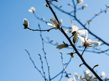 White Magnolia Flowers Against Blue Sky Royalty Free Stock Photo