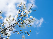White Magnolia Flowers Against Blue Sky Royalty Free Stock Image
