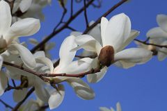 White magnolia flowers on a background of blue sky Stock Photos