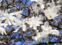 White Magnolia flowers Royalty Free Stock Photography