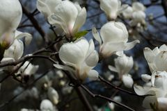 White magnolia flowers blossoming. Spring time in the park.  royalty free stock images