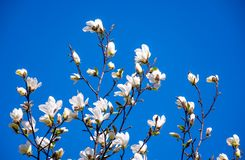 Magnolia flowers on a blue sky background. White magnolia flowers branch on a blue sky background Royalty Free Stock Photography