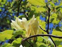 White magnolia flowers and fresh green leaves in the spring sunshine. White magnolia flowers and fresh green leaves brighten from spring sunshine against a blue stock photos