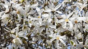 White magnolia flowers high over blue sky stock video footage
