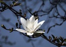 White magnolia flowers. Magnolia kobus. White magnolia flowers. Blooming magnolia tree with white flowers stock image