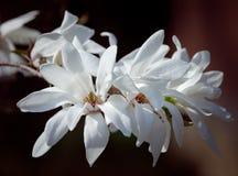 White magnolia flowers. Magnolia kobus. White magnolia flowers. Blooming magnolia tree with white flowers royalty free stock photography