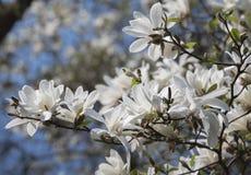 White magnolia flowers. Magnolia kobus. White magnolia flowers. Blooming magnolia tree with white flowers stock images