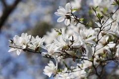 White magnolia flowers. Magnolia kobus. White magnolia flowers. Blooming magnolia tree with white flowers royalty free stock photos