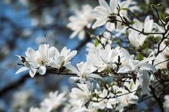 White magnolia flowers. Magnolia kobus. White magnolia flowers. Blooming magnolia tree with white flowers royalty free stock image