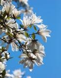 White magnolia flowers Stock Photos