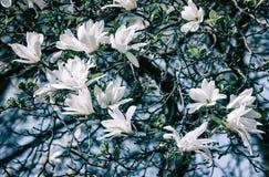 White magnolia flowers. Magnolia kobus. White magnolia flowers. Blooming magnolia tree with white flowers stock photos