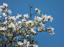 White magnolia flowers. Magnolia kobus. White magnolia flowers. Blooming magnolia tree with white flowers against blue sky stock photo