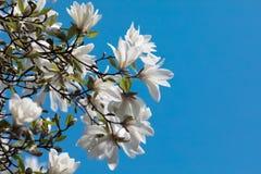 White magnolia flowers Stock Photography