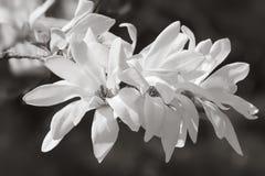White magnolia flowers. Magnolia kobus. White magnolia flowers. Blooming magnolia tree with white flowers. Black and white image stock photo