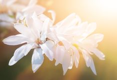 White magnolia flowers Stock Photography