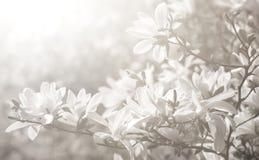 White magnolia flowers. Magnolia kobus. White magnolia flowers. Blooming magnolia tree with white flowers in sun light. Black and white image in high key stock image