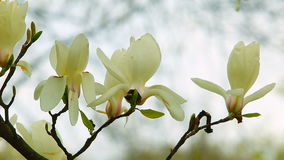White magnolia flowers and light blurred background. Close up shooting. stock video