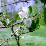 White Magnolia Flowers Stock Images
