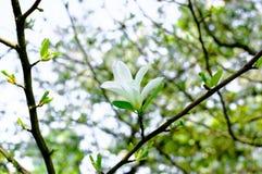 White Magnolia Flowers Royalty Free Stock Image