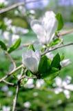 White Magnolia Flowers Royalty Free Stock Photos