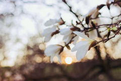 White magnolia flowers at sunset. Blurred background, film effect Stock Images