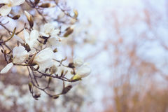 White magnolia flowers at sunset. Blurred background, film effect Royalty Free Stock Photo